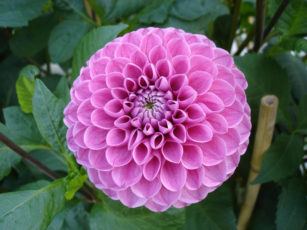 Dahlia dahlia a to z flowers dahlia is a genus of tuberous rooted herbs in the family of asteraceae native to central america and south america there are 42 species of this perennial izmirmasajfo