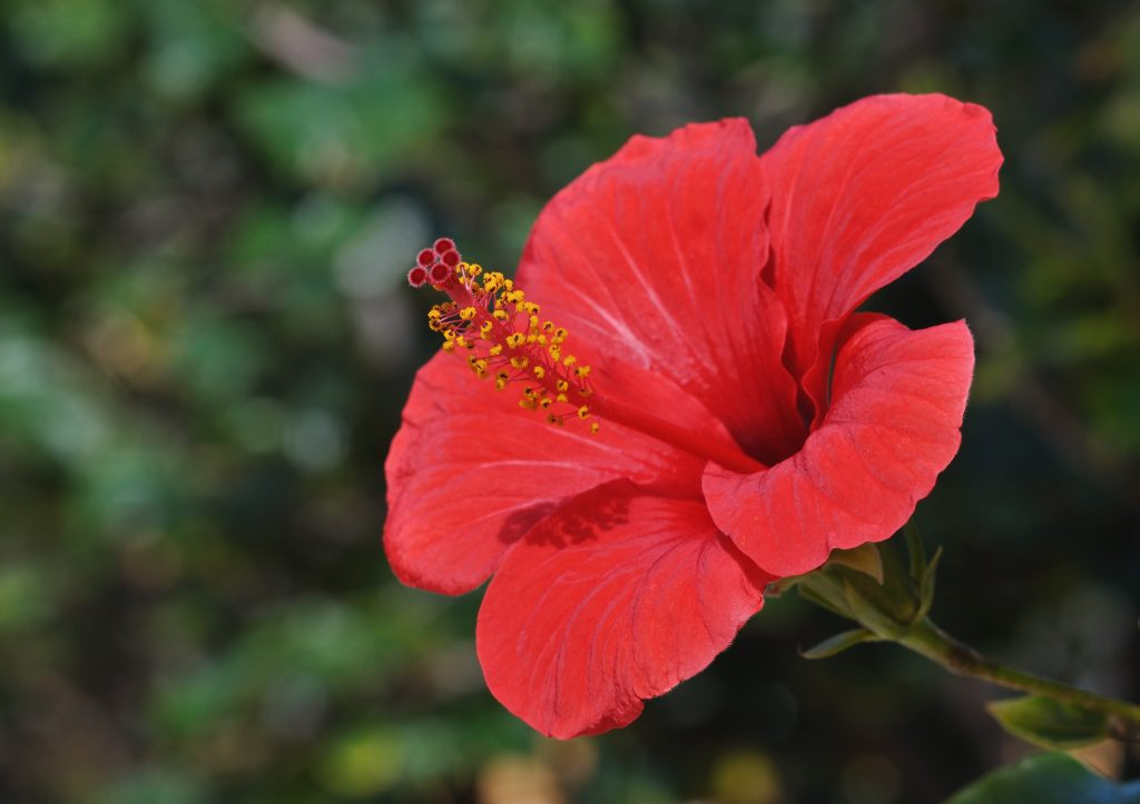 Hibiscus Rose Mallow A To Z Flowers