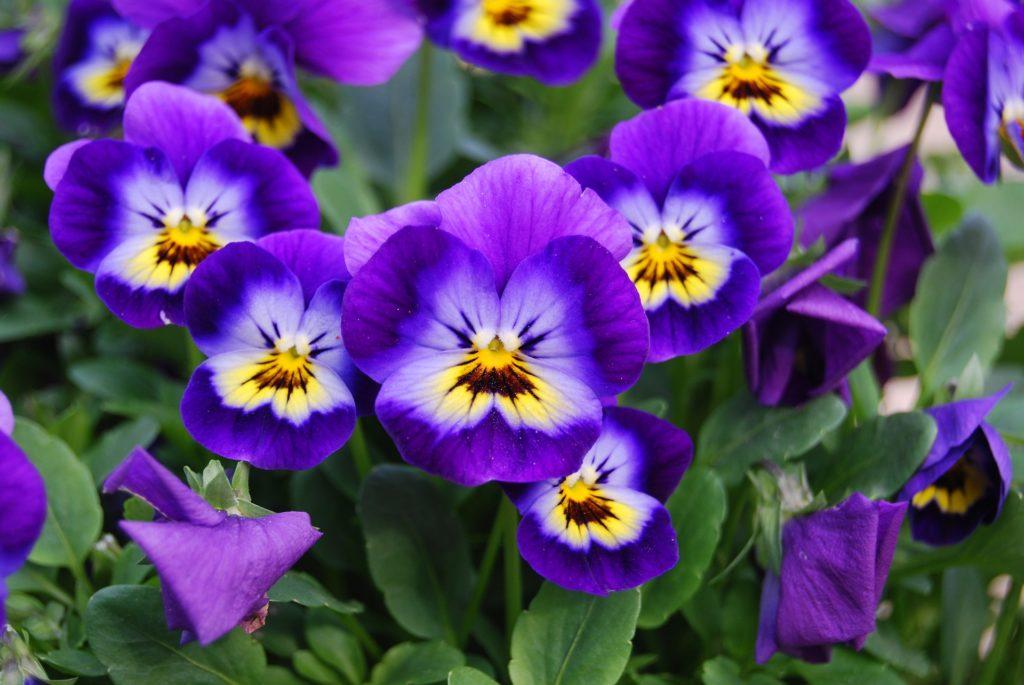 Viola Violet A To Z Flowers