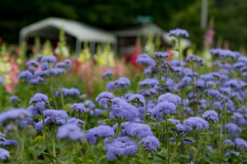 Ageratum Whiteweed Flossflower A To Z Flowers
