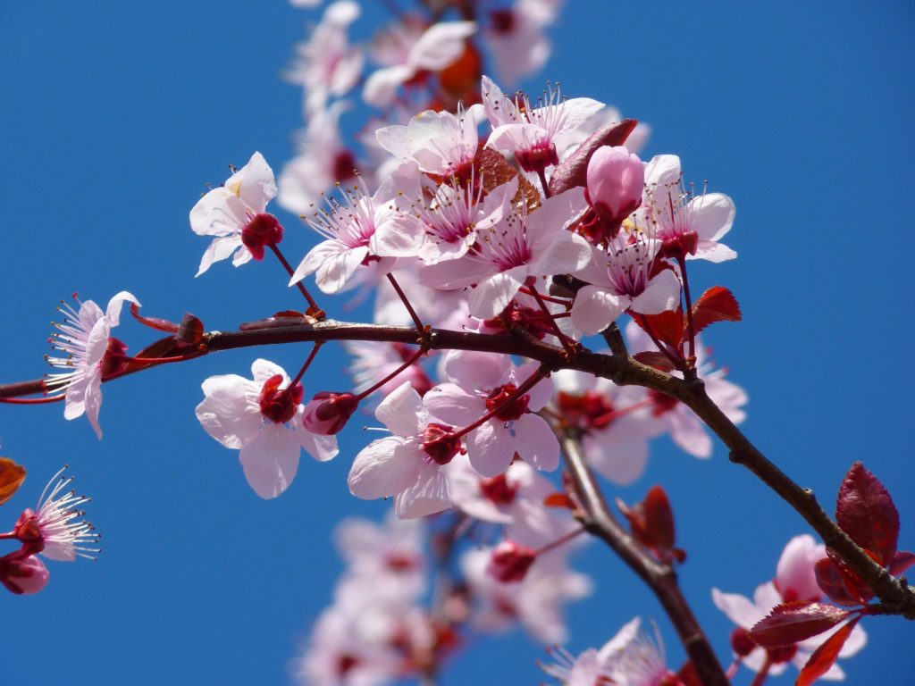 Prunus Prunus A To Z Flowers