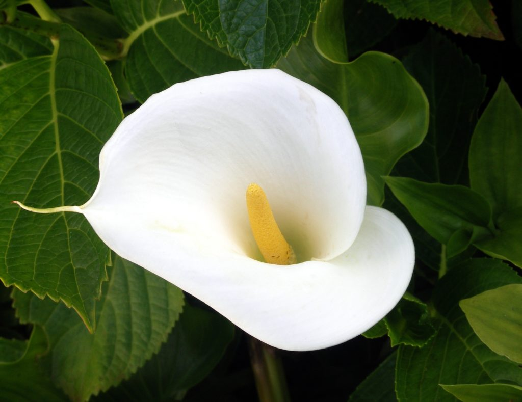 Zantedeschia calla lily arum lily a to z flowers however what looks like a large petal is actually a bract modified leaf called a spathe the real flowers are very small and located on the finger like izmirmasajfo