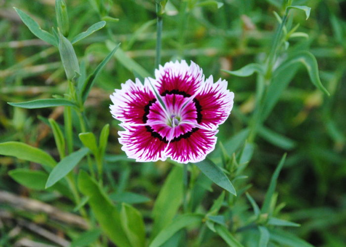 Dianthus (Carnation; Pink; Sweet William)