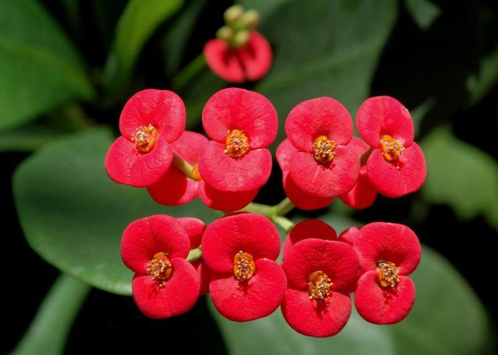 Euphorbia (Spurge)