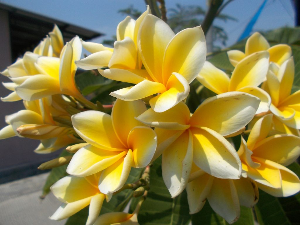 Plumeria frangipani hawaiian lei flower a to z flowers it is popular for its fragrant large flowers and beautiful assortment of colors once planted you will definitely love to watch your plumeria plant grow izmirmasajfo