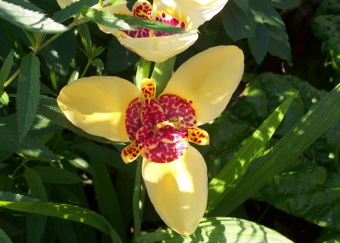Tigridia (Tiger Flower; Mexican Shellflower)
