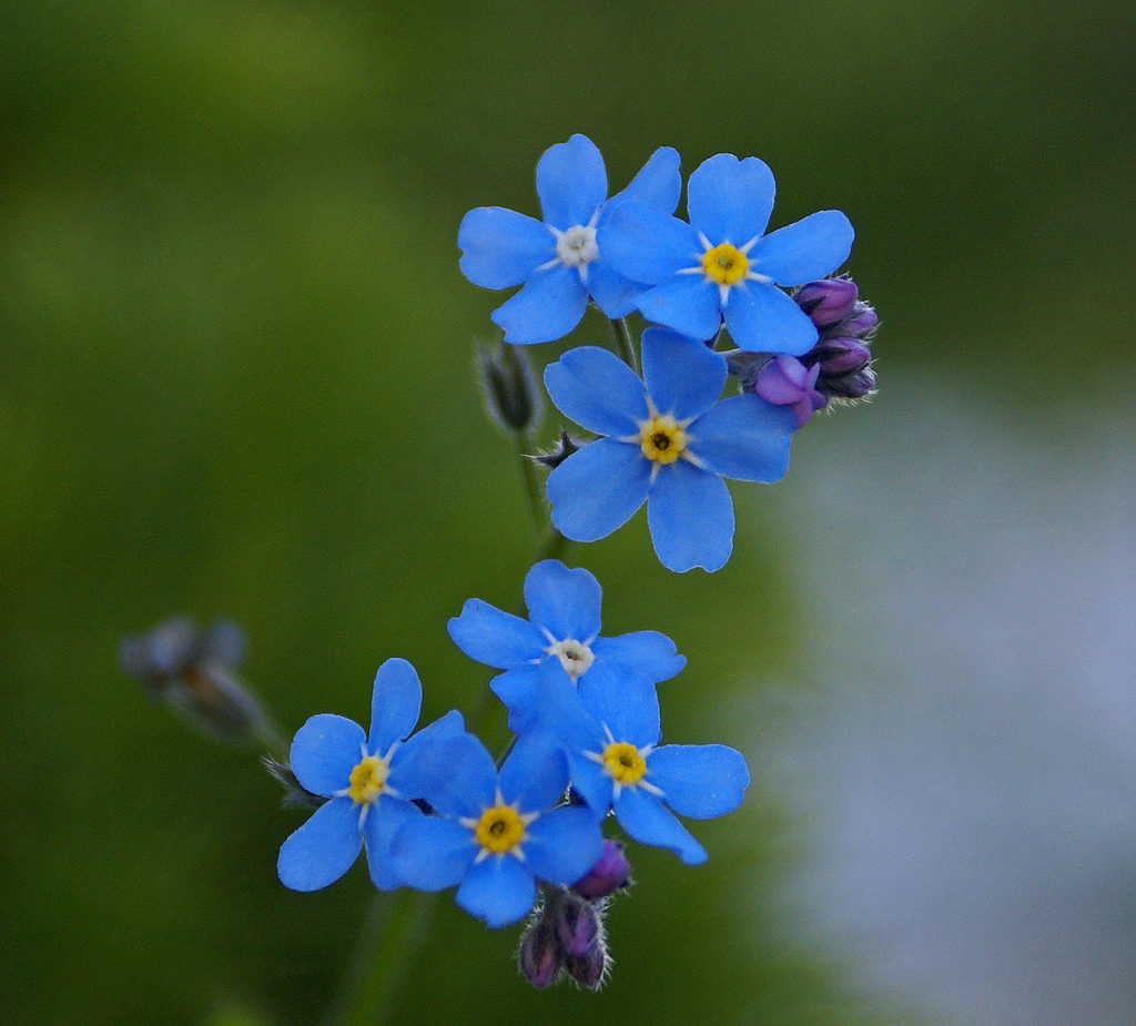 Myosotis Forget Me Not Scorpion Grass A To Z Flowers