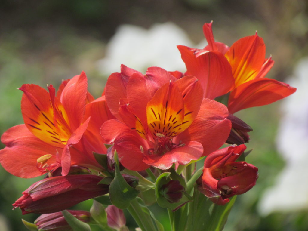Alstroemeria Peruvian Lily Lily Of The Incas A To Z Flowers