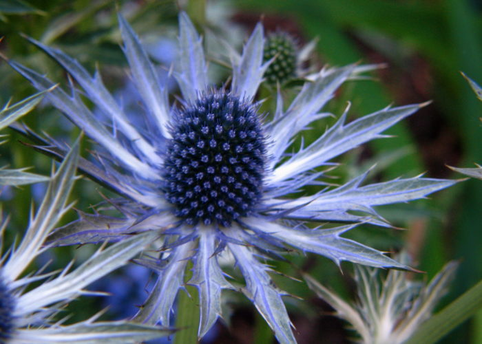 Eryngium (Sea Holly)
