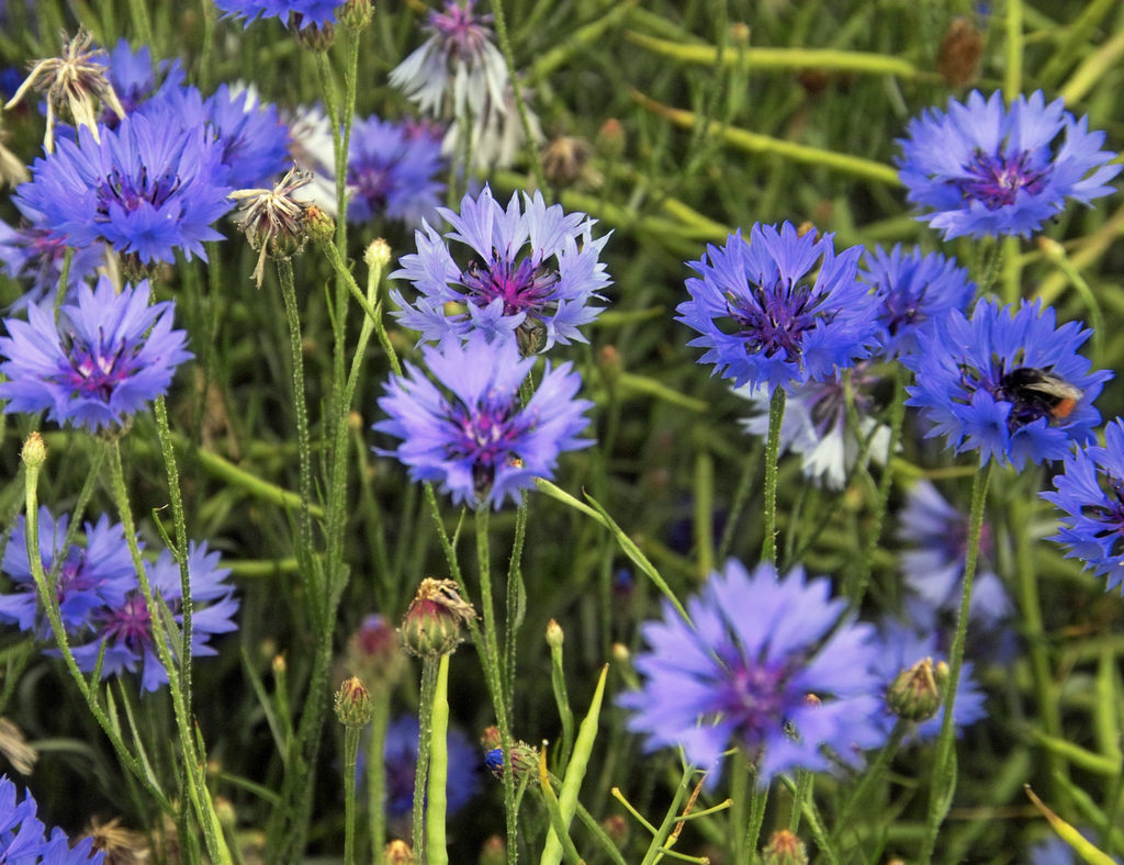 Centaurea Cornflower Bachelor S Button Basket Flower A To Z