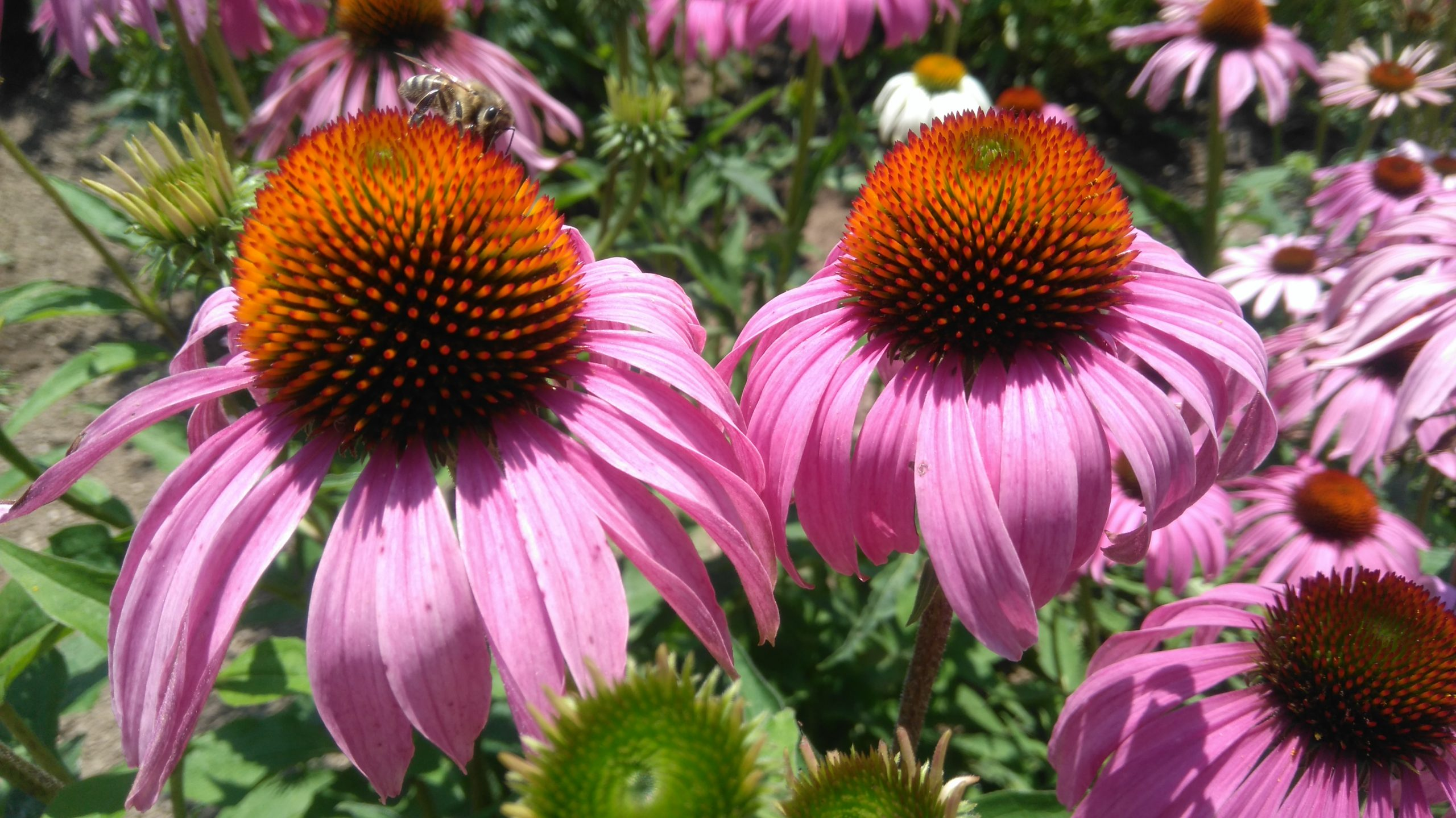 Echinacea Coneflower A To Z Flowers