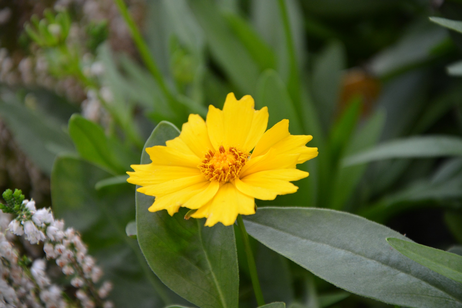 Coreopsis Tickseed Calliopsis A To Z Flowers