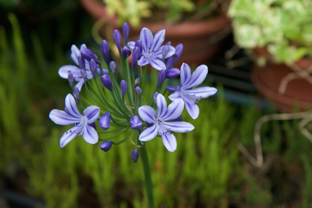 Agapanthus African Lily Of The