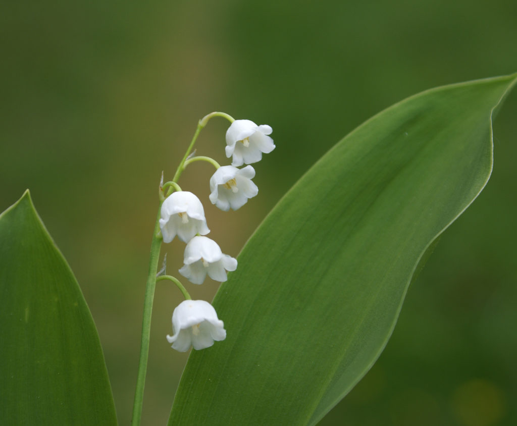 Convallaria lily of the valley a to z flowers bells along one side at the top of the flower stalk lily of the valley is a great plant for a woodland garden or as ground cover in shady borders izmirmasajfo