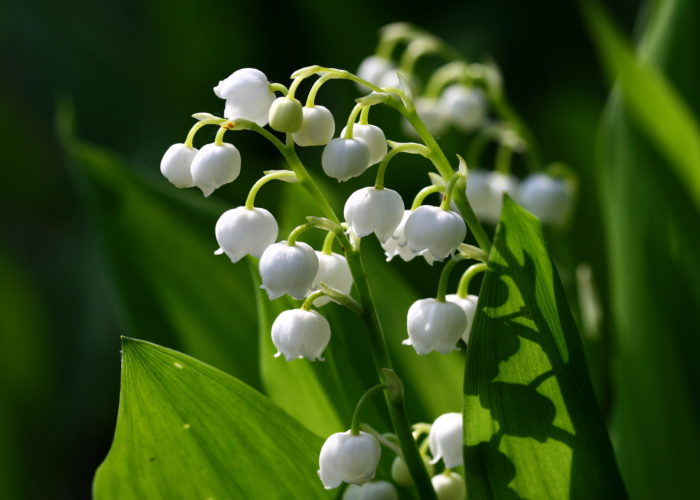 Convallaria (Lily of the Valley)