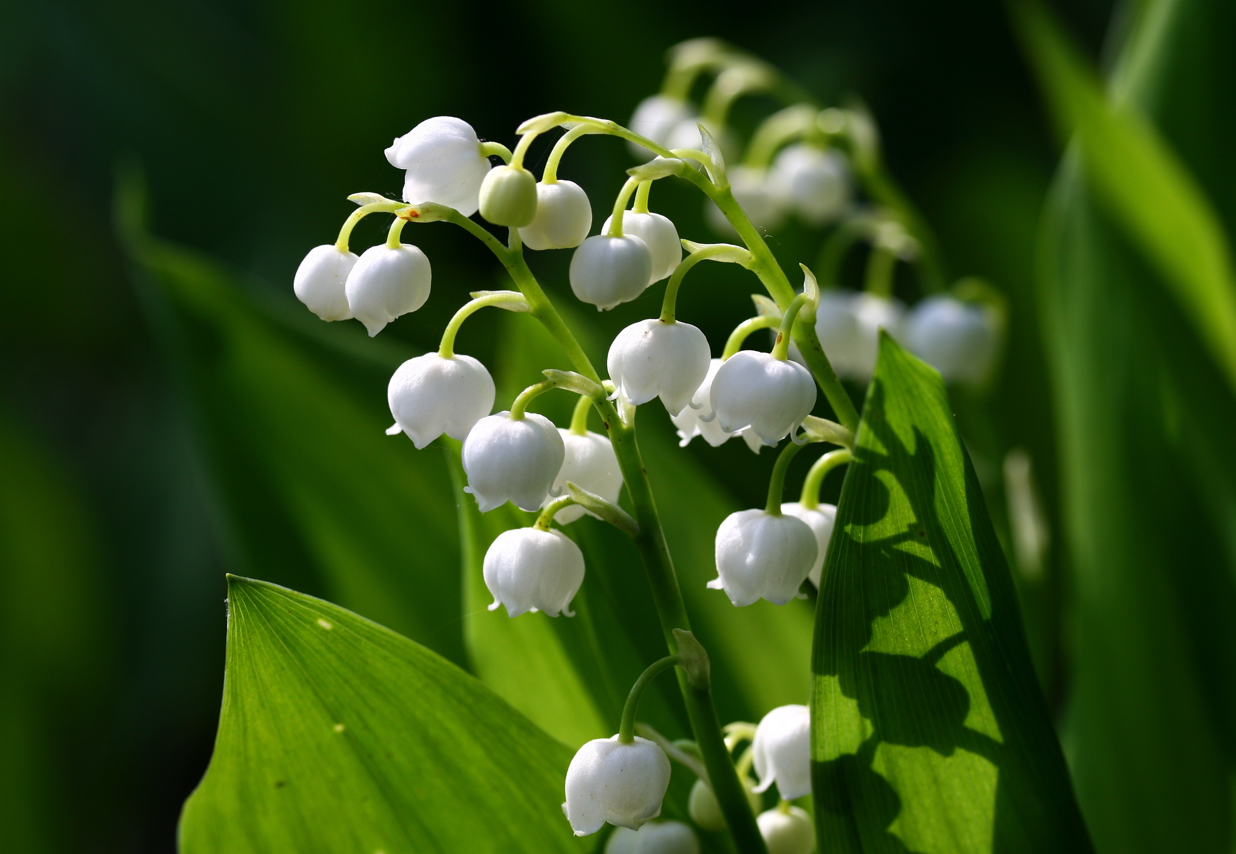 Convallaria Lily Of The Valley A To Z Flowers