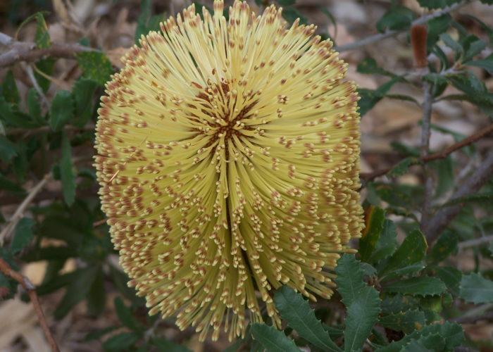 Banksia (Australian Honeysuckle)