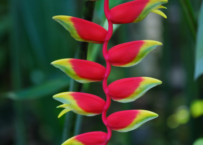 Heliconia (Lobster Claw; False Bird of Paradise)