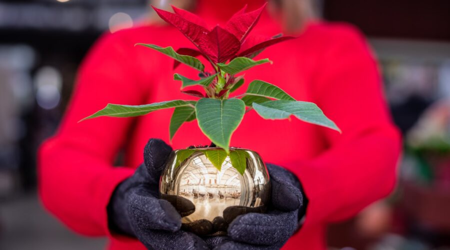 How Did the Poinsettia Become Associated with Christmas