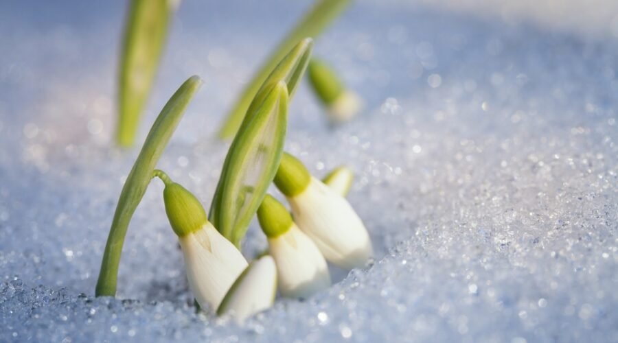 The Folklore and Symbolism of Snowdrops