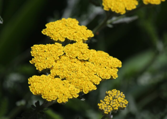 The Healing Powers and Symbolism of Yarrow